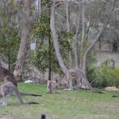 Macropus giganteus (Eastern Grey Kangaroo) at Wamboin, NSW - 20 Dec 2018 by natureguy