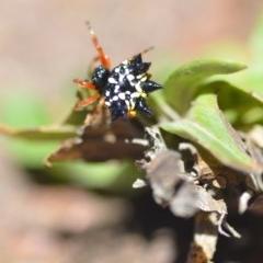 Austracantha minax (Christmas Spider, Jewel Spider) at Wamboin, NSW - 23 Dec 2018 by natureguy
