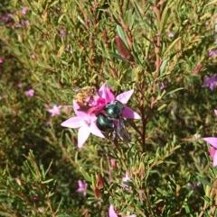 Xylocopa aeratus (Metallic Green Carpenter Bee) at Gundaroo, NSW - 20 Apr 2019 by SwalaPark
