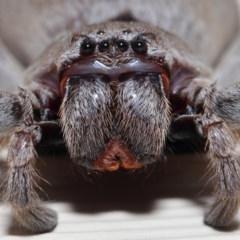 Isopeda sp. (genus) (Huntsman Spider) at Evatt, ACT - 9 Oct 2017 by TimL