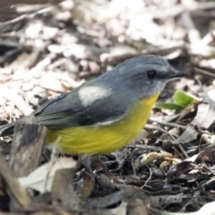 Eopsaltria australis (Eastern Yellow Robin) at ANBG - 18 Apr 2019 by Alison Milton