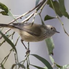 Acanthiza pusilla (Brown Thornbill) at ANBG - 18 Apr 2019 by Alison Milton