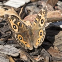 Junonia villida (Meadow Argus) at ANBG - 18 Apr 2019 by AlisonMilton
