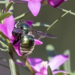 Xylocopa aeratus (Metallic Green Carpenter Bee) at ANBG - 18 Apr 2019 by AlisonMilton