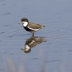 Erythrogonys cinctus (Red-kneed Dotterel) at Jerrabomberra Wetlands - 16 Apr 2019 by Alison Milton