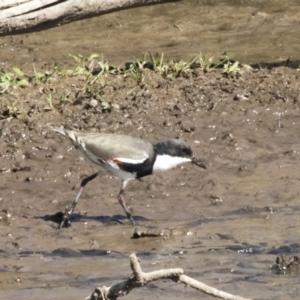 Erythrogonys cinctus at Jerrabomberra Wetlands - 16 Apr 2019