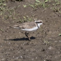 Elseyornis melanops at Jerrabomberra Wetlands - 16 Apr 2019