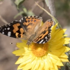 Vanessa kershawi (Australian Painted Lady) at ANBG - 14 Apr 2019 by AlisonMilton