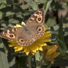 Junonia villida (Meadow Argus) at ANBG - 14 Apr 2019 by AlisonMilton