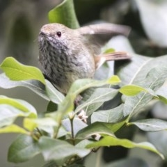 Acanthiza pusilla (Brown Thornbill) at ANBG - 14 Apr 2019 by Alison Milton