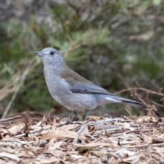Colluricincla harmonica (Grey Shrike-thrush) at ANBG - 14 Apr 2019 by Alison Milton