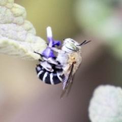 Amegilla (Zonamegilla) asserta (Blue Banded Bee) at ANBG - 14 Apr 2019 by AlisonMilton
