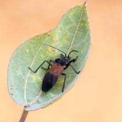 Oncopeltus (Oncopeltus) sordidus (Milk vine bug) at ANBG - 14 Apr 2019 by AlisonMilton