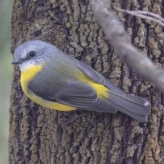 Eopsaltria australis (Eastern Yellow Robin) at ANBG - 14 Apr 2019 by Alison Milton
