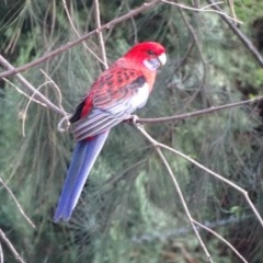 Platycercus elegans (Crimson Rosella) at Isaacs Ridge and Nearby - 21 Apr 2019 by Mike