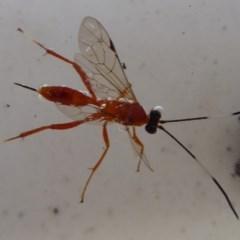 Ichneumonidae sp. (family) (Unidentified ichneumon wasp) at Flynn, ACT - 22 Apr 2019 by Christine