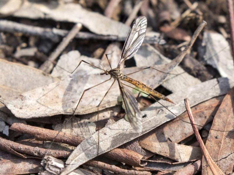 Ptilogyna sp. (genus) at ANBG - 14 Apr 2019