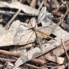 Ptilogyna sp. (genus) (A crane fly) at ANBG - 14 Apr 2019 by AlisonMilton