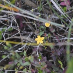 Hypericum japonicum (Matted St John's Wort) at One Track For All - 31 Dec 2014 by NicholasdeJong