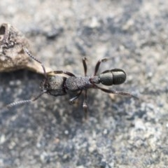 Rhytidoponera metallica (Greenhead ant) at ANBG - 14 Apr 2019 by AlisonMilton