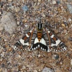 Apina callisto (Pasture Day Moth) at Tuggeranong Hill - 23 Apr 2019 by Owen