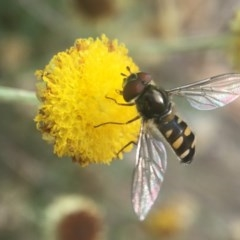 Melangyna viridiceps (Hover fly) at ANBG - 23 Apr 2019 by PeterA