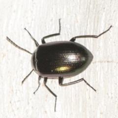 Chalcopteroides columbinus (Rainbow darkling beetle) at Black Mountain - 8 Apr 2019 by AlisonMilton