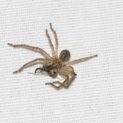 Sparassidae sp. (family) (A Huntsman Spider) at Black Mountain - 8 Apr 2019 by AlisonMilton