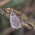 Utetheisa pulchelloides at Cooleman Ridge - 21 Apr 2019