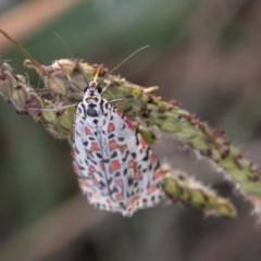 Utetheisa pulchelloides (Heliotrope Moth) at Cooleman Ridge - 21 Apr 2019 by SWishart