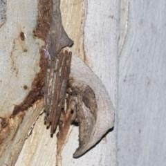 Clania lewinii (Lewin's case moth) at Black Mountain - 8 Apr 2019 by AlisonMilton
