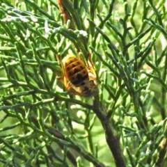 Vespula germanica (European wasp) at Acton, ACT - 23 Apr 2019 by RodDeb
