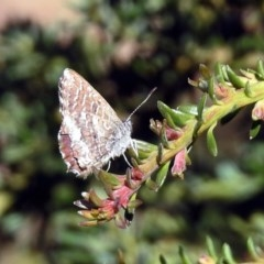 Theclinesthes serpentata at Acton, ACT - 23 Apr 2019