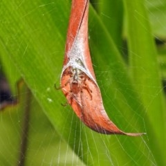 Phonognatha graeffei (Leaf-curling spider) at ANBG - 23 Apr 2019 by RodDeb