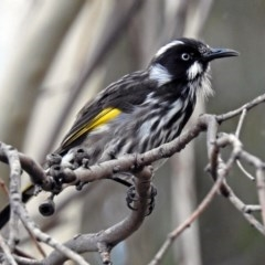 Phylidonyris novaehollandiae (New Holland Honeyeater) at ANBG - 23 Apr 2019 by RodDeb