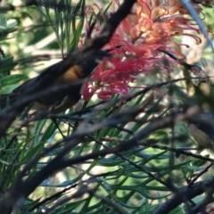 Acanthorhynchus tenuirostris (Eastern Spinebill) at Moruya, NSW - 23 Apr 2019 by LisaH