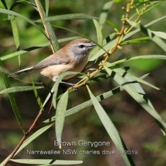 Gerygone mouki (Brown Gerygone) at Narrawallee Foreshore and Reserves Bushcare Group - 19 Apr 2019 by CharlesDove