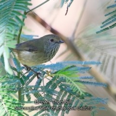 Acanthiza pusilla (Brown Thornbill) at Narrawallee, NSW - 19 Apr 2019 by CharlesDove