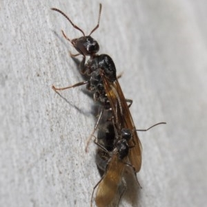 Notoncus sp. (genus) at ANBG - 23 Apr 2019