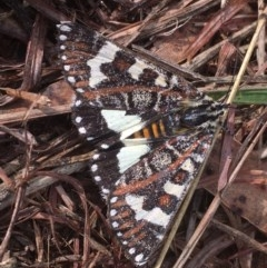 Apina callisto (Pasture Day Moth) at Griffith Woodland - 23 Apr 2019 by AlexKirk