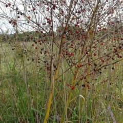 Asparagus officinalis (Asparagus) at Panboola - 24 Apr 2019 by JackieMiles