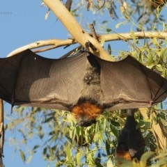 Pteropus poliocephalus (Grey-headed Flying-fox) at Panboola - 14 Apr 2019 by JulesPhotographer