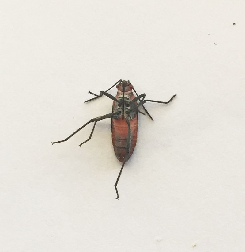 Leptocoris mitellatus at Hughes Garran Woodland - 25 Apr 2019