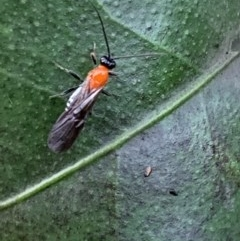 BRACONIDAE (Unidentified braconid wasp) at Berry, NSW - 25 Apr 2019 by Andrejs