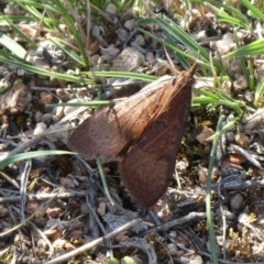 Uresiphita ornithopteralis (Tree Lucerne Moth) at Tuggeranong Hill - 25 Apr 2019 by Owen