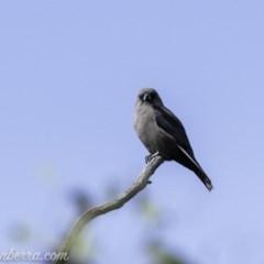 Artamus cyanopterus (Dusky Woodswallow) at Namadgi National Park - 21 Apr 2019 by BIrdsinCanberra