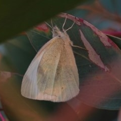 Pieris rapae (Cabbage White) at Hughes Grassy Woodland - 24 Apr 2019 by JackyF