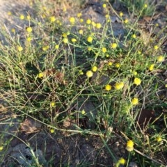 Calotis lappulacea (Yellow burr daisy) at Deakin, ACT - 25 Apr 2019 by JackyF