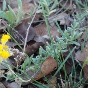 Chrysocephalum apiculatum at Hughes Grassy Woodland - 25 Apr 2019