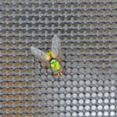 Rutilia (Microrutilia) sp. (genus & subgenus) (A Bristle fly) at Wamboin, NSW - 15 Jan 2019 by natureguy